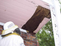 Technician removing a beehive from a home in Greensboro, Georgia