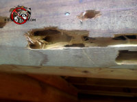 Woodpecker damage secondary to carpenter bee infestation