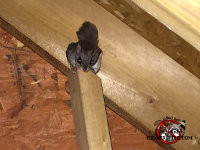 Flying squirrel looking directly at the technician's camera in an attic