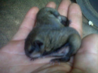 Juvenile flying squirrels in a squirrel control technician's hand