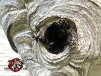Close up of the hole of a hornets nest showing several hornets in and around the hole