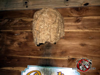 European hornets nest on the exterior wall of a house with staining underneath the nest