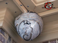 Hornets nest hanging from the soffit of a house in Good Hope, Georgia