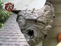 Hornets nests built under the soffit of an Athens Georgia home with some hornets on the nest and around the entry hole