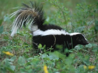 A skunk walking through a field
