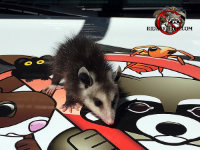 A baby opossum on the hood of a Rid a Critter service vehicle