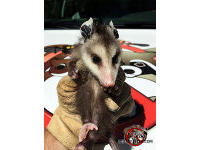 A young opossum outdoors in a technicians gloved hand after being removed from under a dishwasher in a house