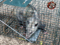 A young adult opossum in a cage trap awaiting relocation to the forest after having been trapped and removed from a house in Athens Georgia