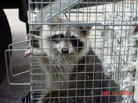 Raccoon in a box trap trapped during an Athens, Georgia raccoon removal job