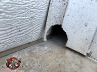 Apple sized hole that Norway rats gnawed through the bottom of a vertical garage door frame and rubber seal to get into a house in Athens Georgia.