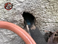 Hole in the exterior wall with a pipe passing through it allowed rats into the house