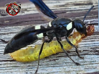 Mason wasp with a caterpillar it intends to eat or feed to its young