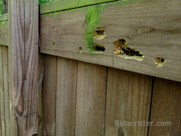 Carpenter Bee Holes In A Fence
