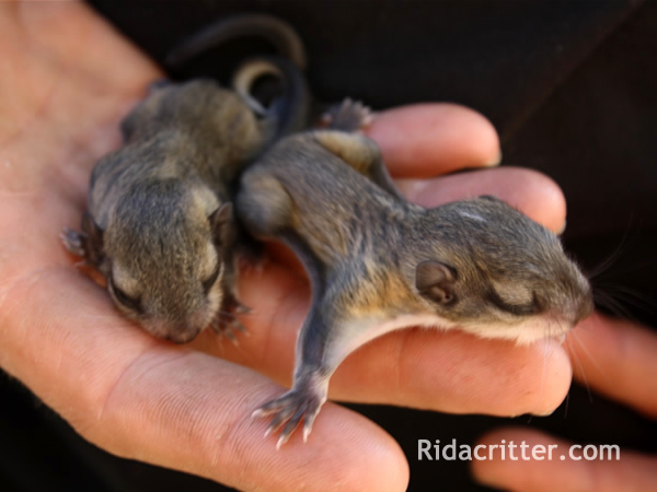 Two baby flying squirels in an RAC technician's hand.
