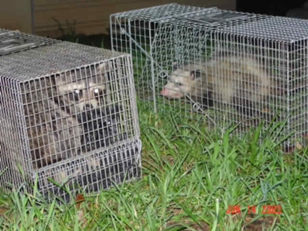 Possum and raccoon removed from a house
