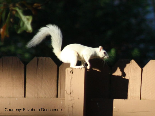 Albino squirrel running on a fence